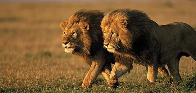 Lions-Two